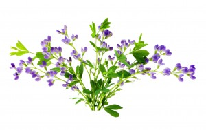 Baptisia flowers isolated on white background