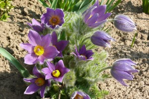 purple pasqueflower